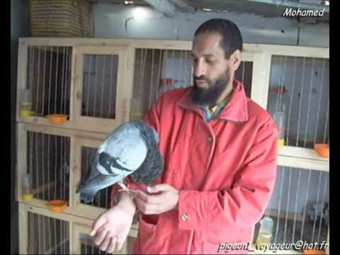 Ismail B pipa derby pigeon voyageur maroc sale  lawla3a animal 10