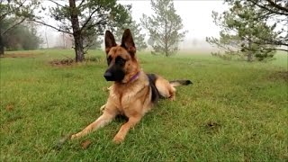 download lagu German Shepherd Fog Walk gratis
