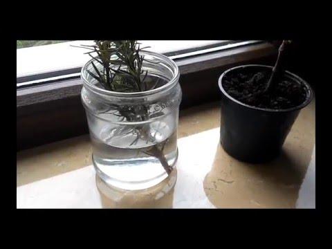 Как размножается розмарин в домашних условиях