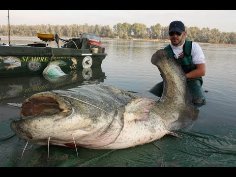 http://www.catfishing-around-the-world.eu FIGHT WITH AN ENORMUS RECORD WELS CATFISH OVER 220 POUND LBS IN THE RIVER PO ITALY !!! SUPER GIORNATA DI PESCA A VE...