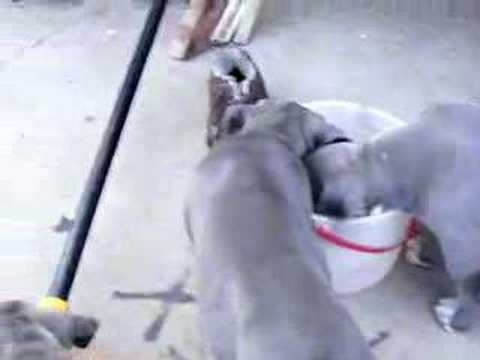 UKC Blue Pit Bull Puppies 9 weeks Video