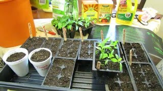 (1 of 9) Growing Tomatoes & Peppers: When to Seed Start,  Starting Mix, Light, Watering & Feeding