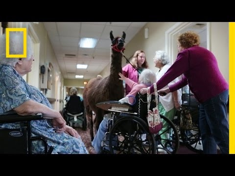 Llamas Bring Happiness to Nursing Home | National Geographic