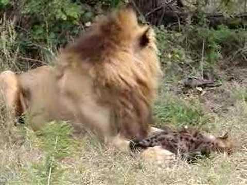 Lion Eating Hyena