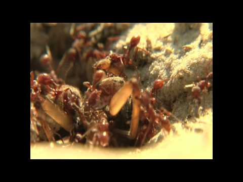 harvester ants harvest a wolf spider... click on WATCH IN HD