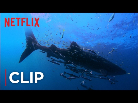 Mission Blue - Clip - Swimming with Whale sharks- Netflix - [HD]