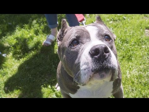 SPCA on proposed Montreal pit bull ban