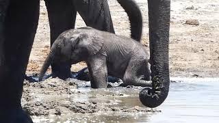 Newborn elephant playing in the water  (Okavango Delta, Botswana)