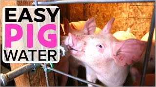 Automatic Pig Waterer - How to install an easy system for watering pigs
