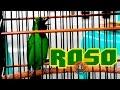 "TV BURUNG : Aksi Cucak Hijau Juara 1 ""ROSO"" di Festival Borneo Berkicau"