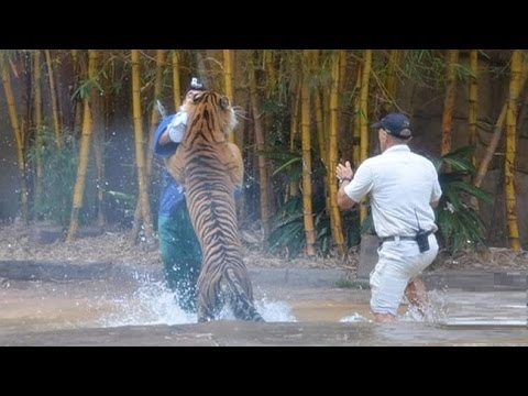 Tiger attacks big cat keeper at Australia Zoo