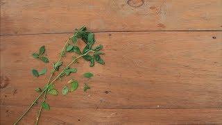 Propiedades Medicinales de la Alfalfa