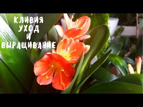 Кливия (фото) посадка и уход за цветком