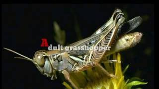 the life cycle of grasshopper