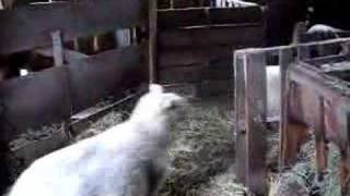 Watch Judybats Counting Sheep video