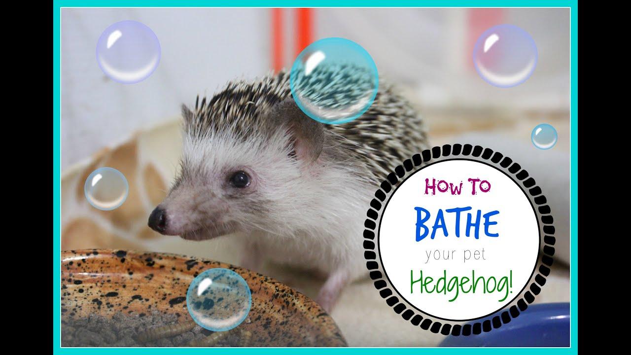 How to Bathe a Hedgehog