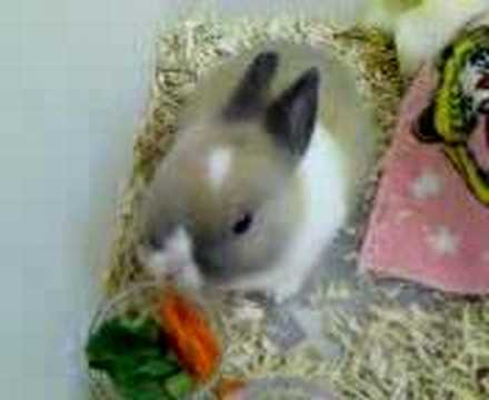 Baby Dutch Bunny Eating