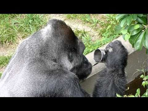 Gorilla drinking water from a cup.3