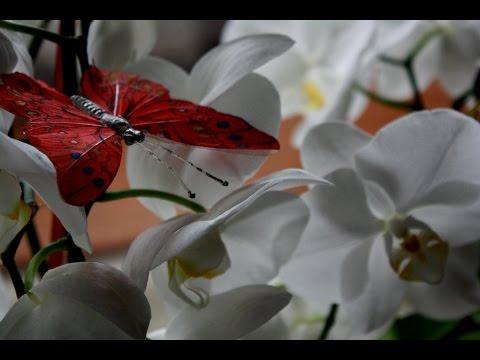 Пересадка обильно цветущей орхидеи .