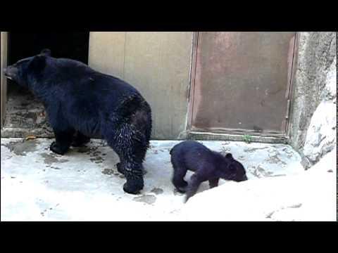 上野動物園のニホンツキノワグマの親子。Baby Japanese black bear and Mom.#09