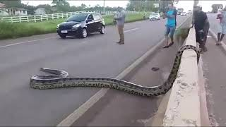 Traffic halts as Giant Anaconda Crosses Road in Brazil; Video Goes Viral || GoViral