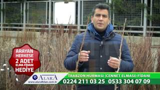 Alara Fidan Trabzon Hurması