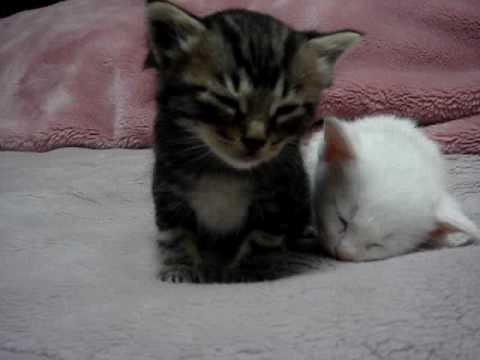 this is a short clip of a kitten falling asleep. It was too cute to leave ...
