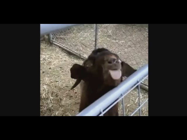 Chèvre debile
