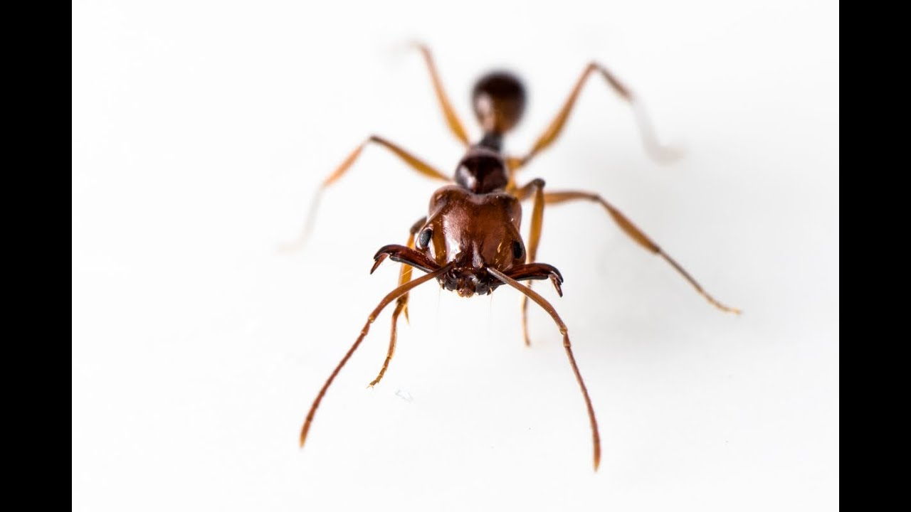 Trap Jaw Ant Queen Trap-jaw Ants Hunting