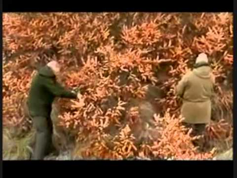 The Novice Bushman_Guerrilla Gardening 01 Sea Buckthorn