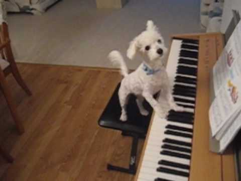 Amazing animal trick. Dog singing and playing the piano. Music Videos