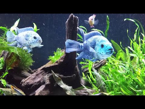 Planted aquarium: Cichlid and Eels