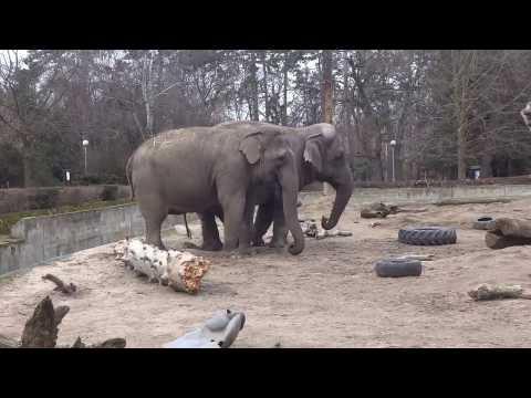 Tańczące Słonie W ZOO We Wrocławiu