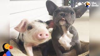 Dogs Raise Orphaned Piglets | The Dodo Odd Couples