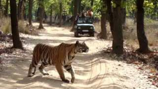 A tiger on the prowl in Bandhavgarh, India