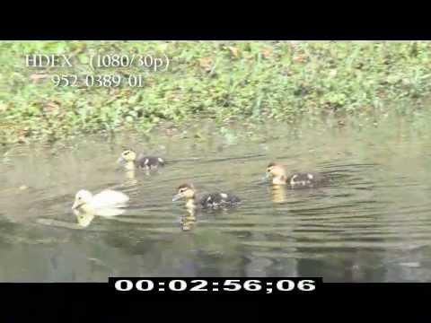Ducklings - Baby Ducks - Swimming - HD Stock Footage - Best Shot Stock Footage