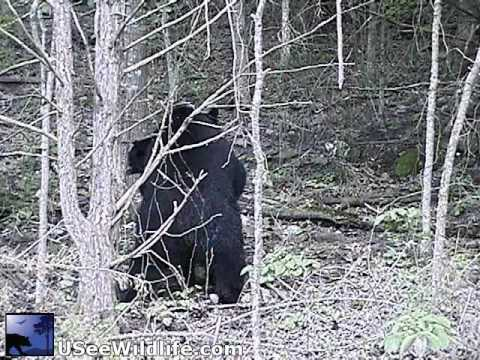 Massive Wild Bear Mating