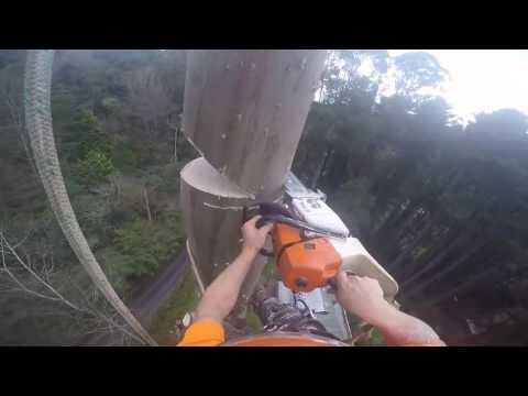 Зрелищное спиливание 50 метровых деревьев