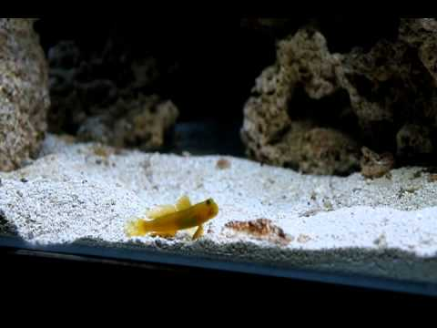 Yellow Watchman Goby For Sale Yellow Watchman Goby And Tire