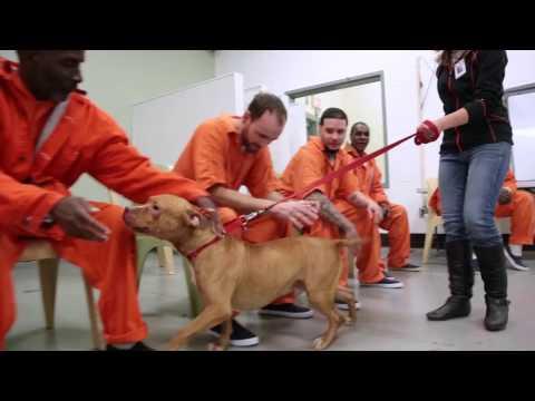 Stafford Pitbull Adoption