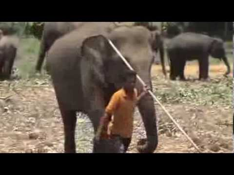 Pinnawala Elephant Orphanage / Sri Lanka: [ Clip 2 ]
