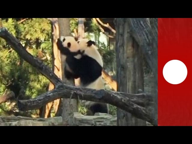 Mother panda catches baby as he attempts to climb tree, USA