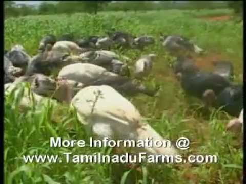 TURKEY FARMING TAMIL NADU - YouTube