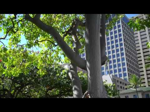 President Franklin D. Roosevelt's Kukui tree that he planted at Io