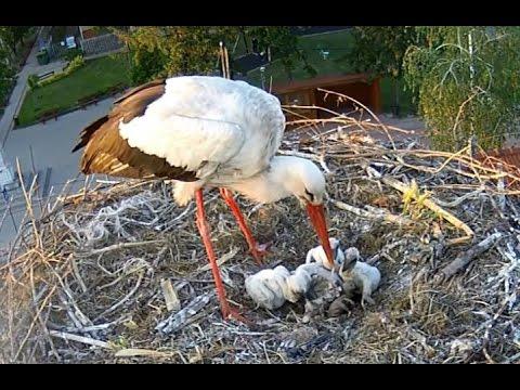 Kisgolyák etetése - Stork feeding