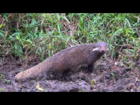 Thailand Wildlife - Mongeese or Mongooses?