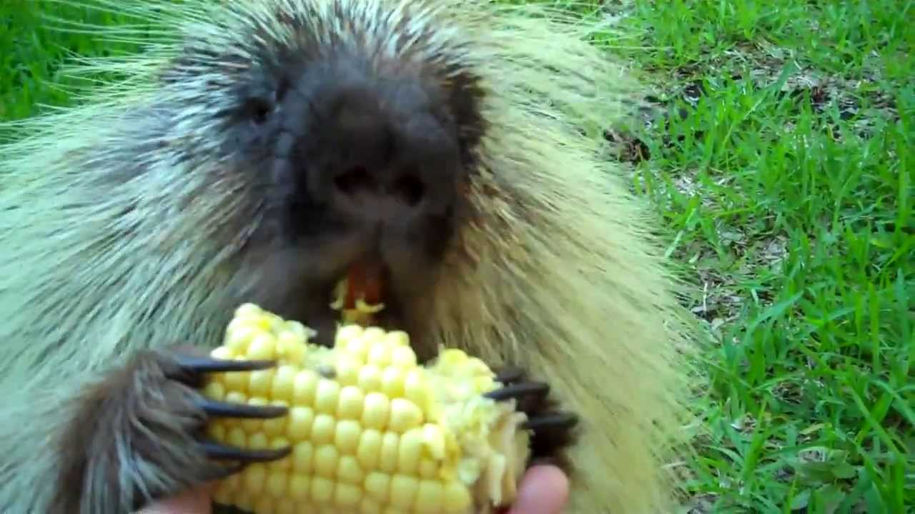 [Mouthy Porcupine Will Not Share His Corn] Video