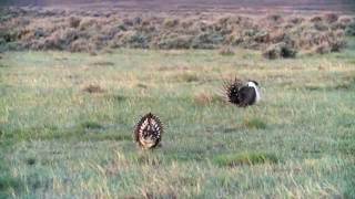 Hybrid Grouse