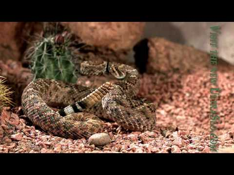 pissed off Rattle snake Close up UltraSlo motion