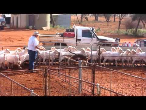 life in an australian shearing shed